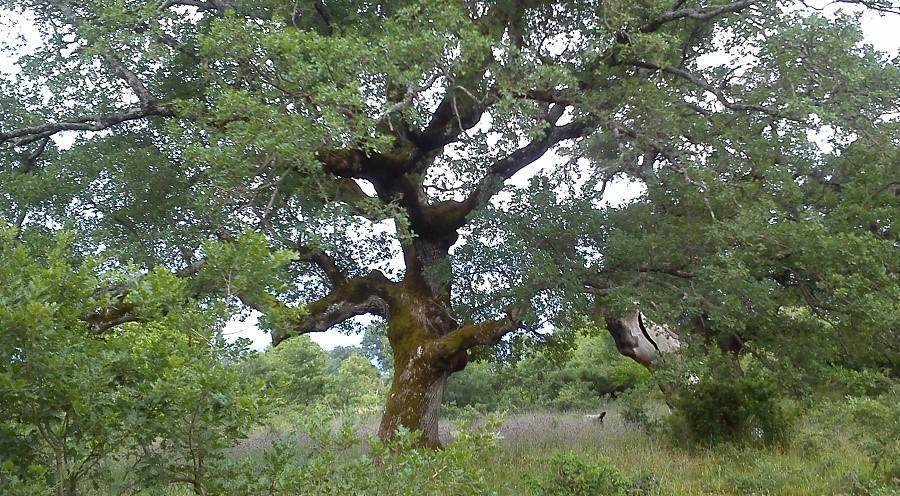 Ενημέρωση και διάσωση- διατήρηση των μεγάλων αιωνόβιων δέντρων